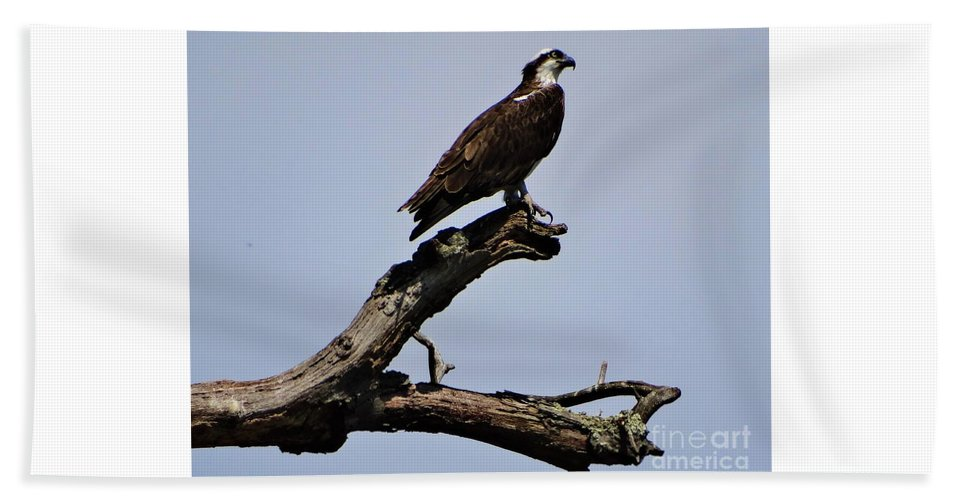 Osprey Lake St Catherine Poultney Wells Vermont Beach Towel featuring the photograph Double Perches by Karen Velsor
