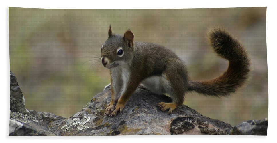Spokane Beach Towel featuring the photograph Douglas' Squirrel On The Rocks by Ben Upham III