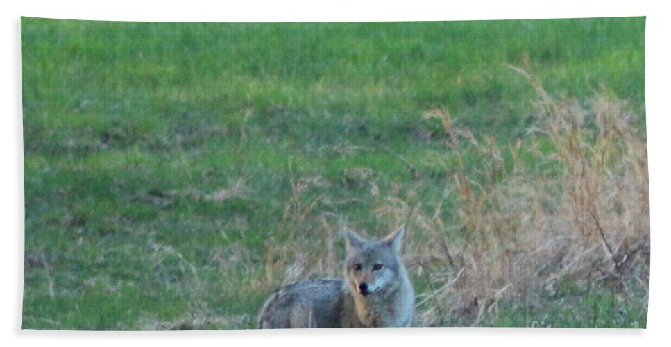 Coyote Beach Towel featuring the photograph Eastern Coyote In Grass by Neal Eslinger