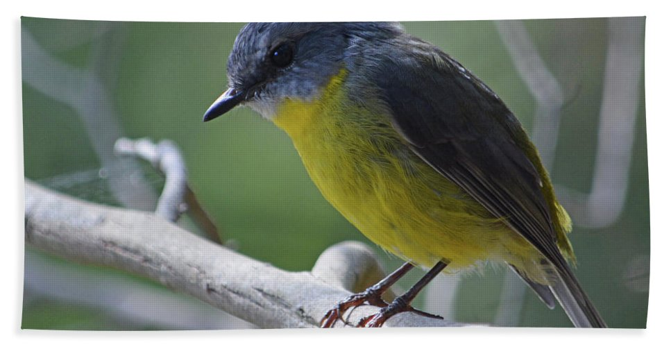 Robin Beach Towel featuring the photograph Eastern Yellow Robin by Peter Krause