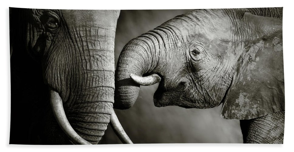 Elephant; Interact; Touch; Gently; Trunk; Young; Large; Small; Big; Tusk; Together; Togetherness; Passionate; Affectionate; Behavior; Art; Artistic; Black; White; B&w; Monochrome; Image; African; Animal; Wildlife; Wild; Mammal; Animal; Two; Moody; Outdoor; Nature; Africa; Nobody; Photograph; Addo; National; Park; Loxodonta; Africana; Muddy; Caring; Passion; Affection; Show; Display; Reach Beach Towel featuring the photograph Elephant affection by Johan Swanepoel