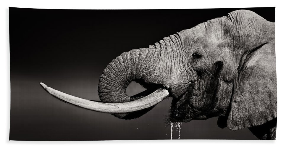 Elephant Beach Towel featuring the photograph Elephant Bull Drinking Water - Duetone by Johan Swanepoel