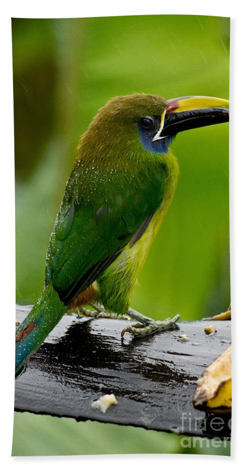 Emerald Toucanet Beach Towel featuring the photograph Emerald Toucanet In The Rain by Dant� Fenolio