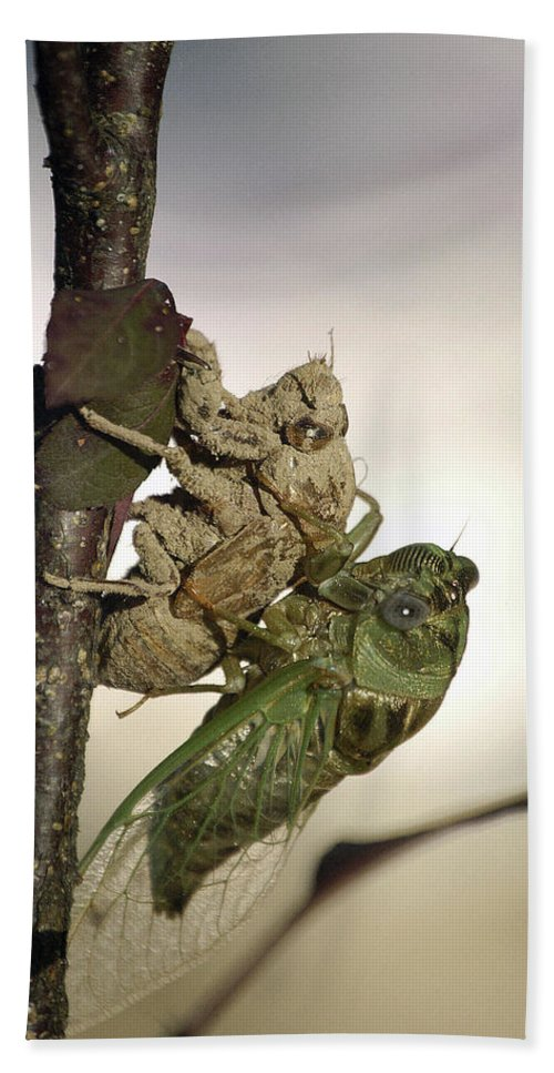 Nature Beach Towel featuring the photograph Emerging - Cicada 2 by D'Arcy Evans