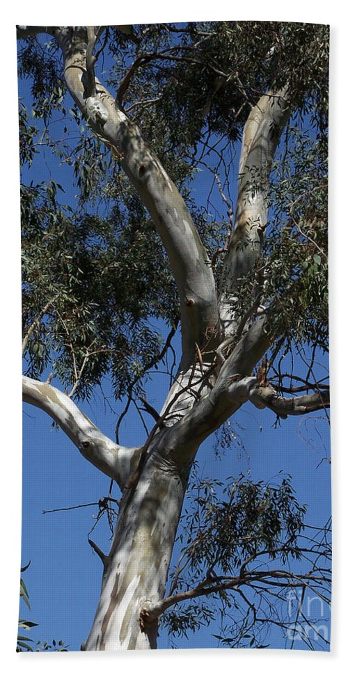 Trees Beach Towel featuring the photograph Eucalyptus by Kathy McClure