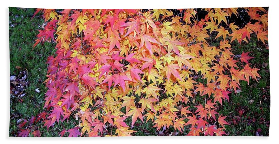 Maple Beach Towel featuring the photograph Fall Beauty by Karin Dawn Kelshall- Best