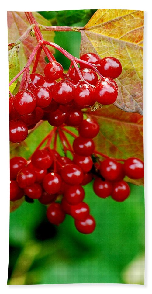 Autumn Beach Towel featuring the photograph Fall Berries by Michael Peychich