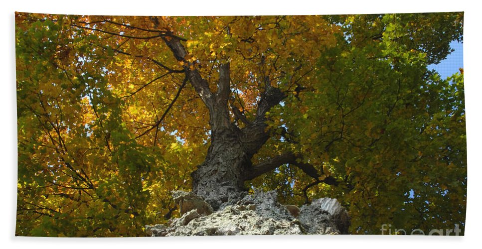 Fall Beach Sheet featuring the photograph Falling Tree by David Lee Thompson