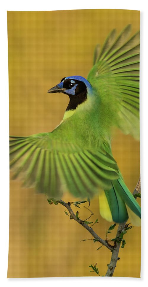Green Jay Beach Towel featuring the photograph Fan Dancer by Christopher Ciccone