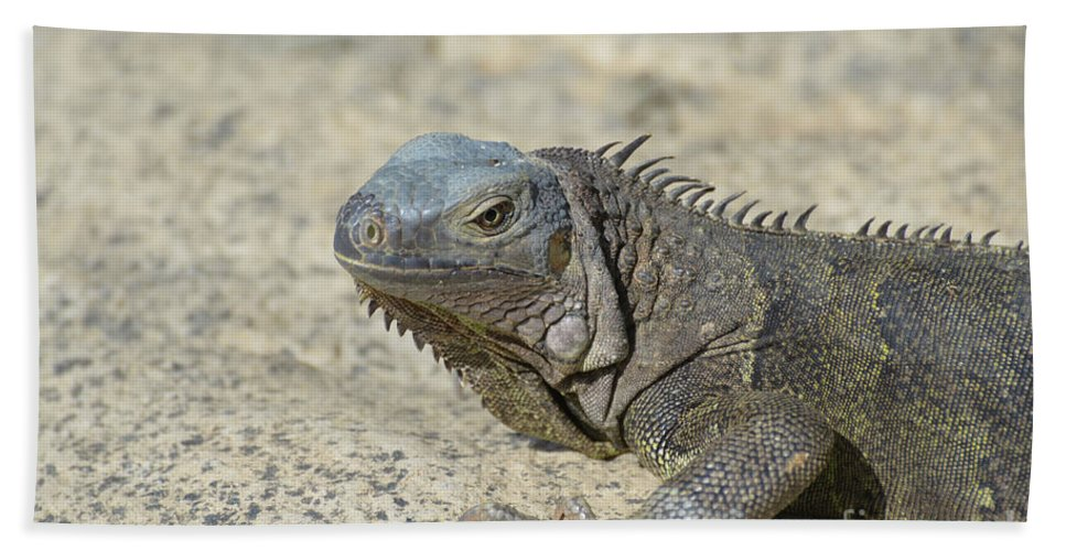 Iguana Beach Towel featuring the photograph Fantastic Gray Iguana With Spines Along His Back by DejaVu Designs