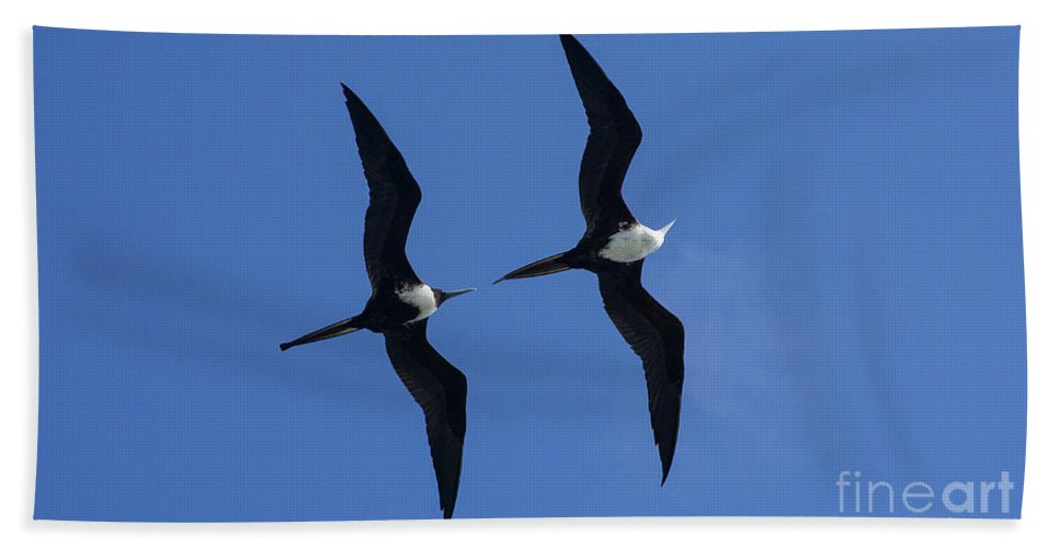 Images Beach Towel featuring the photograph Female And Juvenile Magificent Frigatebird Fregata Magnificens 2 by Rick Bures