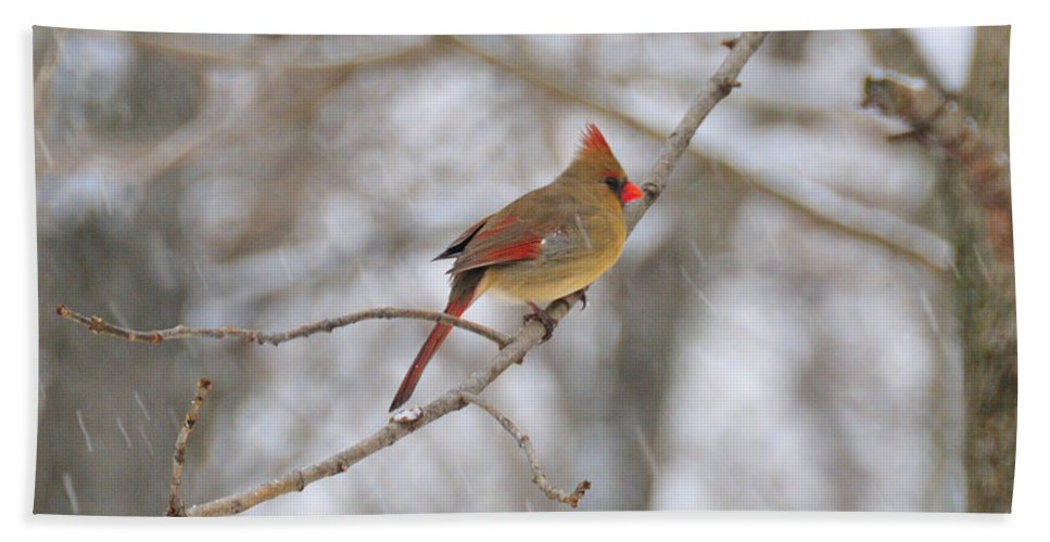 Cardinal Beach Towel featuring the photograph Female Cardinal In Winter by David Arment