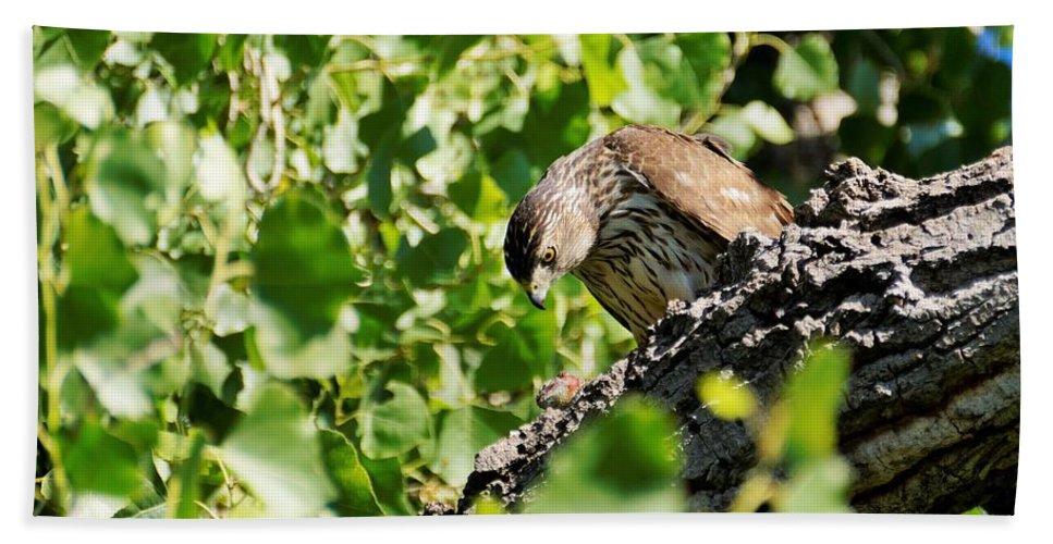 Raptors And Birds Of Prey Beach Towel featuring the photograph Female Cooper's Hawk Feeding by Dennis Boyd