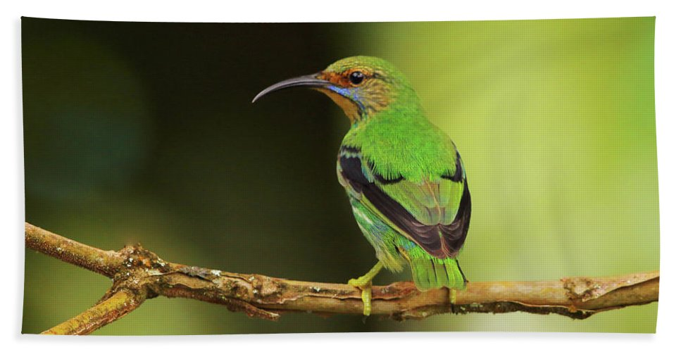 Asa Wright Nature Centre Beach Towel featuring the photograph Female Green Honeycreeper At Trinidad's Asa Wright by Steve Wolfe