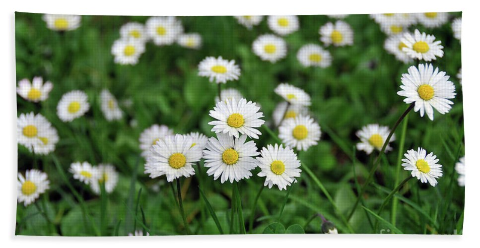 Field Of Daisies Beach Towel featuring the photograph Field Of Daisies by Ilaria Andreucci