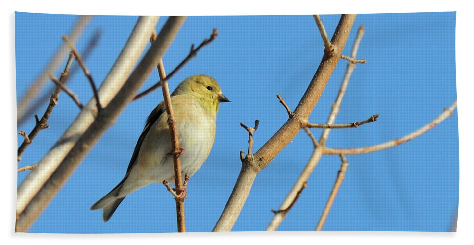 Finch Beach Towel featuring the photograph Finch by David Arment