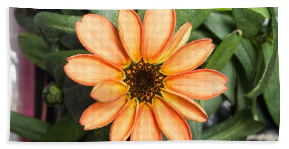 Science Beach Towel featuring the photograph First Flower Grown Aboard Iss by Science Source