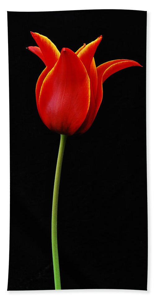 Tulip Beach Towel featuring the photograph Flaming Tulip by Michael Peychich