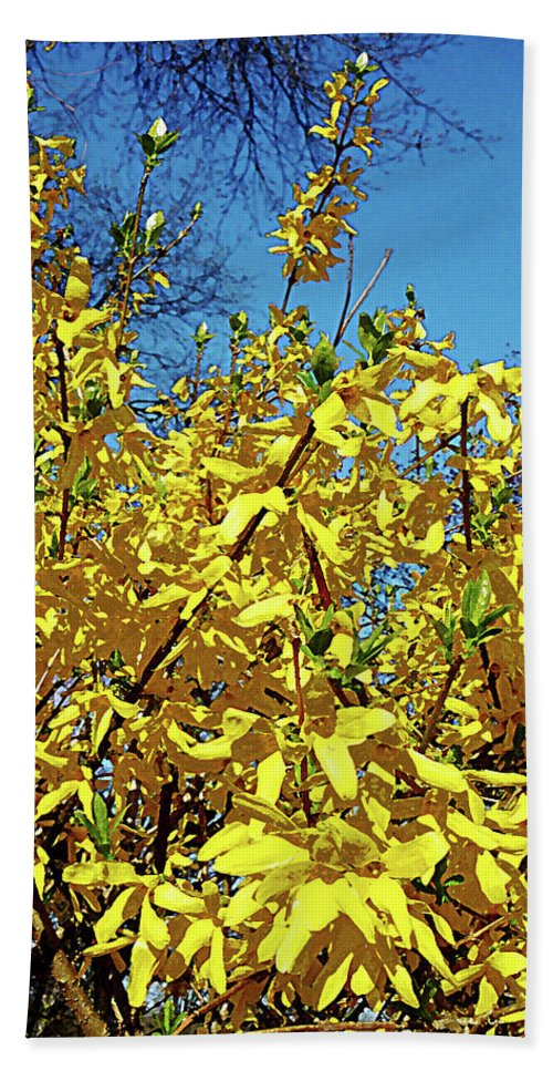 Spring Beach Towel featuring the photograph Forsythia by Susan Savad