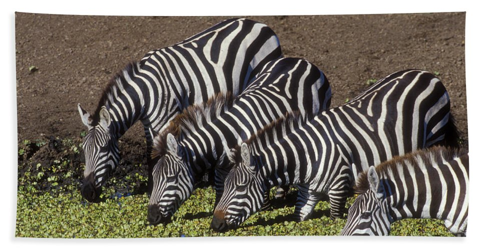 Zebra Beach Towel featuring the photograph Four For Lunch - Zebras by Sandra Bronstein