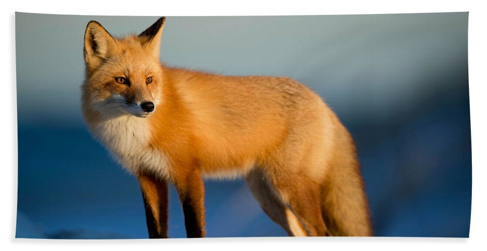Fox Beach Towel featuring the photograph Fox by Fbmovercrafts