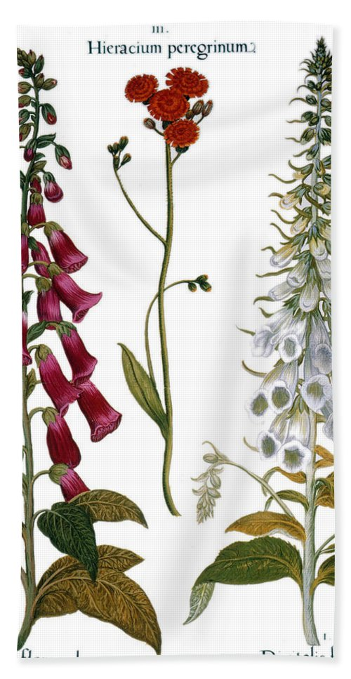 1613 Beach Towel featuring the photograph Foxglove And Hawkweed by Granger