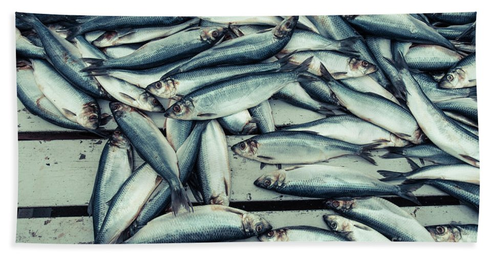 Iceland Beach Towel featuring the photograph Fresh Caught Herring Fish by Edward Fielding