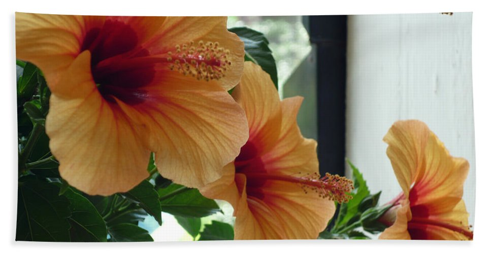 Photography Flower Floral Bloom Hibiscus Peach Beach Towel featuring the photograph Friends for a day by Karin Dawn Kelshall- Best