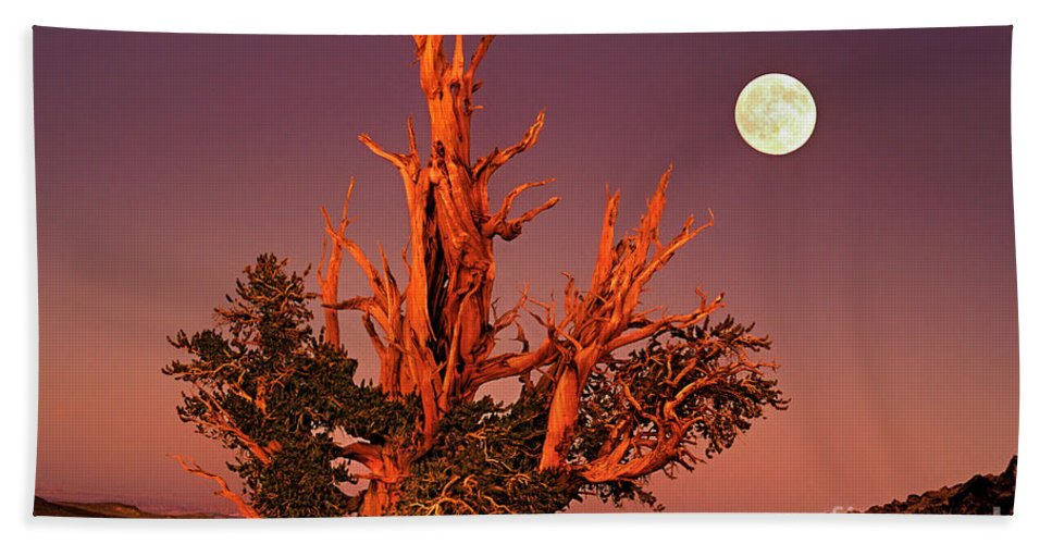 North America Beach Towel featuring the photograph Full Moon Behind Ancient Bristlecone Pine White Mountains California by Dave Welling