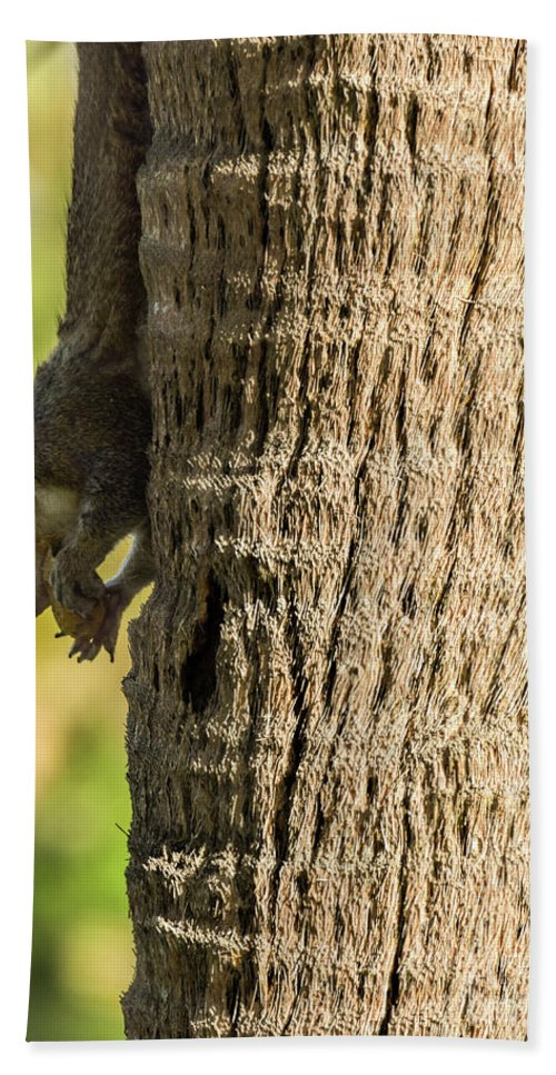 Squirrel Beach Towel featuring the photograph Funky Ear Squirrel by William Tasker