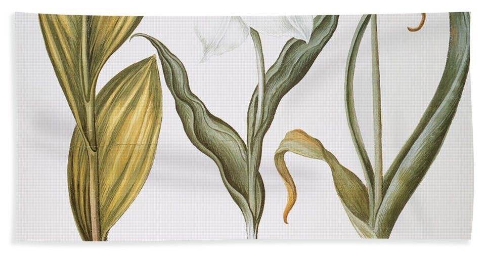 1613 Beach Towel featuring the photograph Garlic, 1613 by Granger