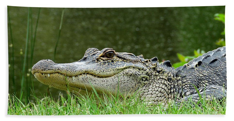 Gator Beach Towel featuring the photograph Gator 65 by J M Farris Photography