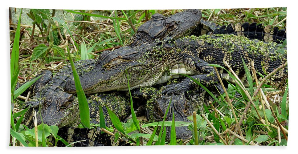 Gator Beach Towel featuring the photograph Gators 11 by J M Farris Photography