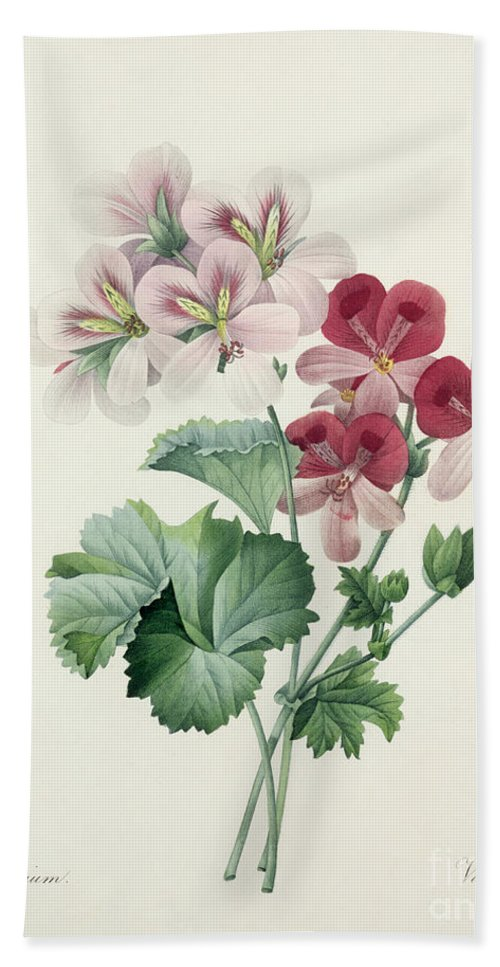 Geranium Beach Towel featuring the drawing Geranium Variety by Pierre Joseph Redoute