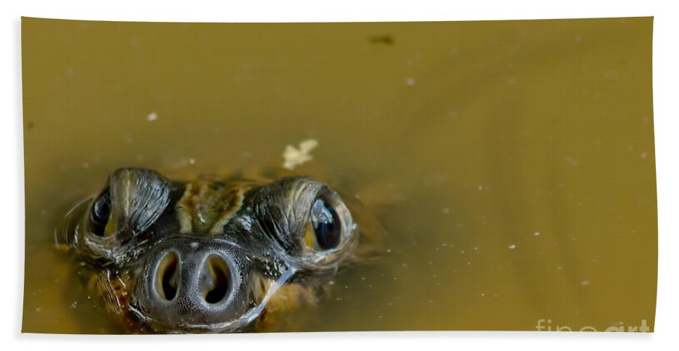 Amazon River Turtle Beach Towel featuring the photograph Giant Amazonian River Turtle by Dant� Fenolio