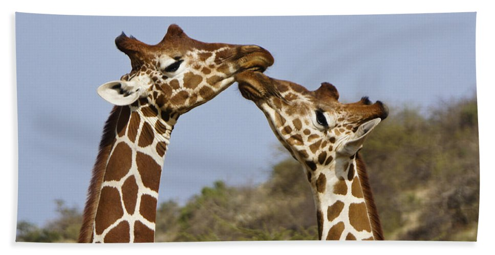 Africa Beach Towel featuring the photograph Giraffe Kisses by Michele Burgess