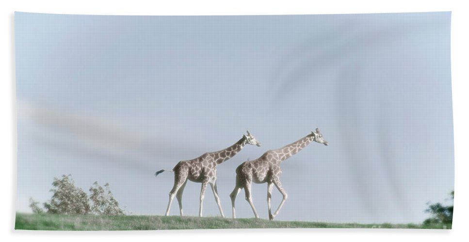 Giraffe Beach Towel featuring the photograph Giraffe Pair On Hill by Jim And Emily Bush