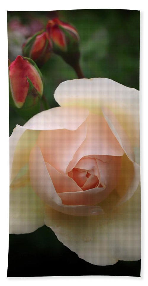 Rose Beach Towel featuring the photograph Glowing Rose by Philip Openshaw