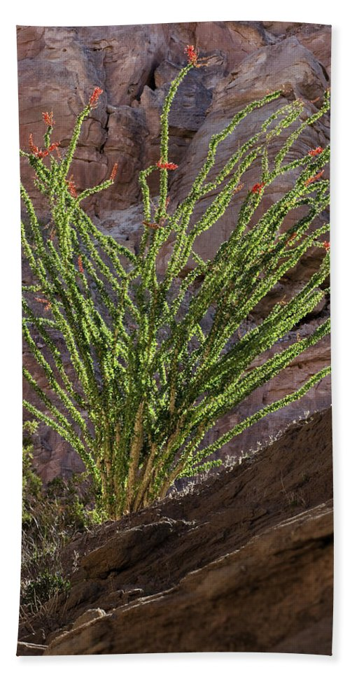 Ocotillo Beach Towel featuring the photograph Glowing Ocotillo by Kelley King