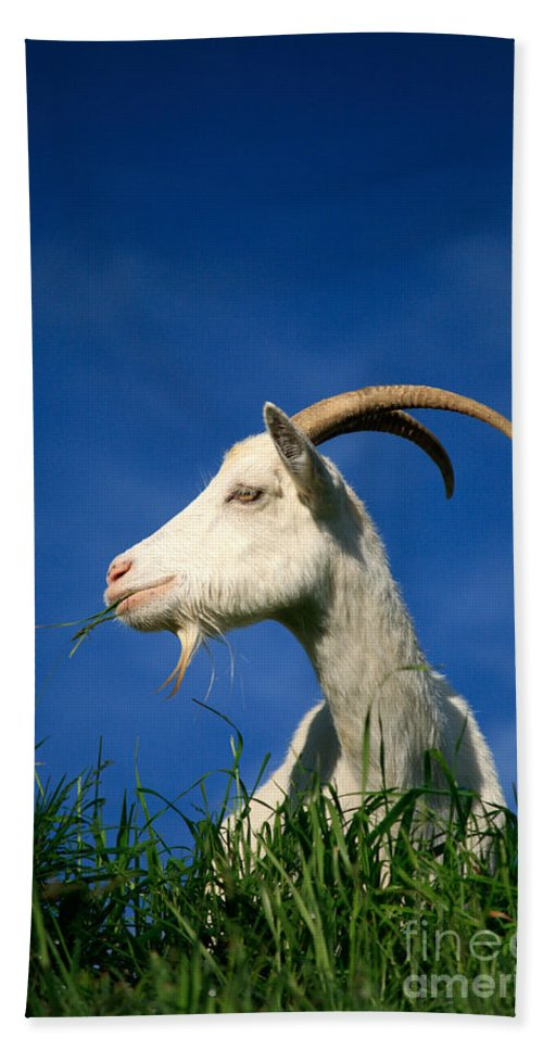 Animals Beach Towel featuring the photograph Goat by Gaspar Avila