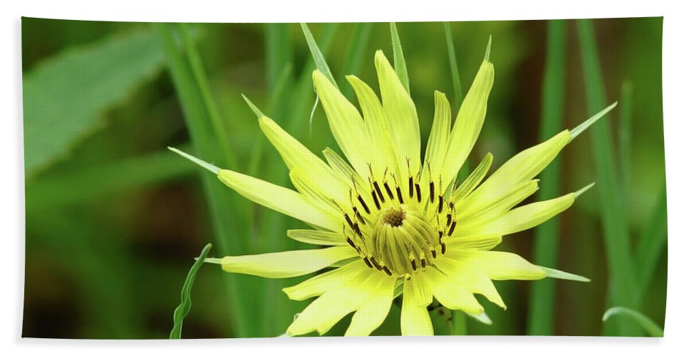 Yellow Beach Towel featuring the photograph Goatsbeard by Robin Clifton