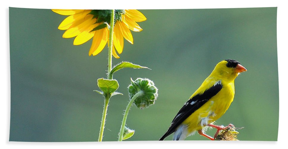 Gold Finch Beach Towel featuring the photograph Gold Finch by Todd Hostetter