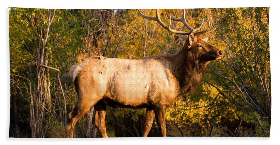 Autumn Beach Towel featuring the photograph Golden Bull Elk Portrait by James BO Insogna
