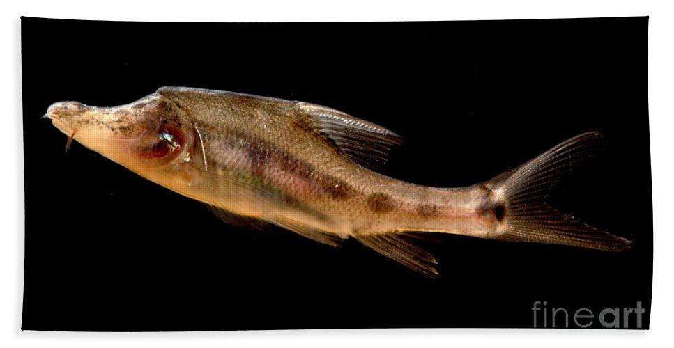 Golden Line Barbel Beach Towel featuring the photograph Golden Line Barbel by Dant� Fenolio