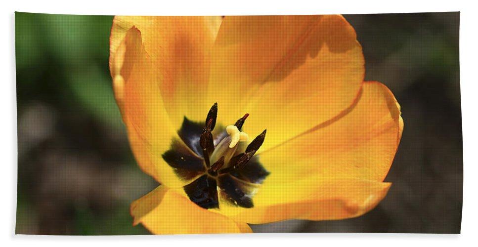 Tulip. Flower Beach Towel featuring the photograph Golden Tulip Petals by Deborah Benoit