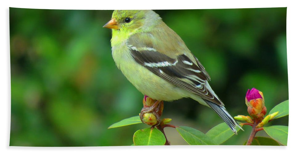 Spring Beach Towel featuring the photograph Goldfinch On Green by Dianne Cowen