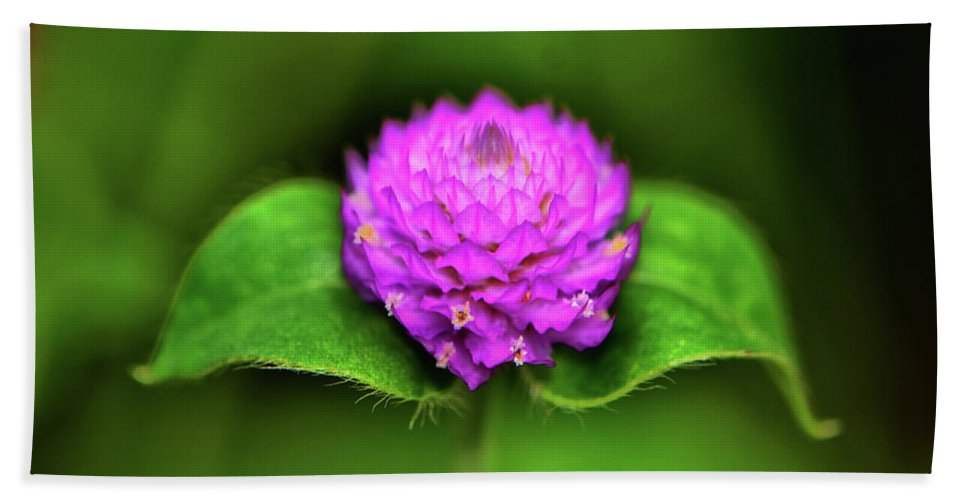 Macro Beach Towel featuring the photograph Gomphrena - Globe Flower 003 by George Bostian
