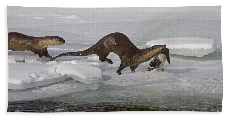 Lontra Canadensis Beach Towel featuring the photograph Goose For Lunch-signed-#1133 by J L Woody Wooden