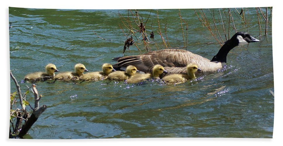 Spokane Beach Towel featuring the photograph Goslings In A Row by Ben Upham III