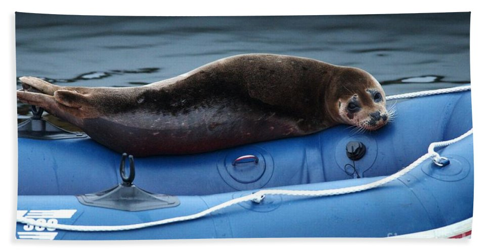Harbor Seal Beach Towel featuring the photograph Got Salmon by Sharon Talson